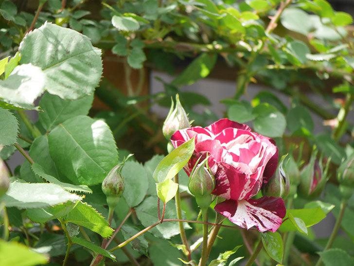 ニュー・イマジン(New Imagine)の花が少し咲いた。半ツルバラ。2021年-020.jpg