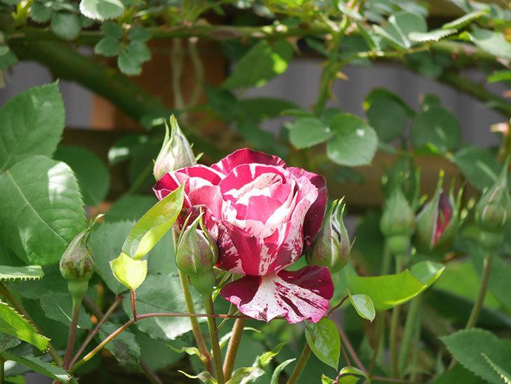 ニュー・イマジン(New Imagine)の花が少し咲いた。半ツルバラ。2021年-024.jpg