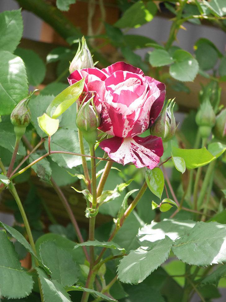 ニュー・イマジン(New Imagine)の花が少し咲いた。半ツルバラ。2021年-025.jpg
