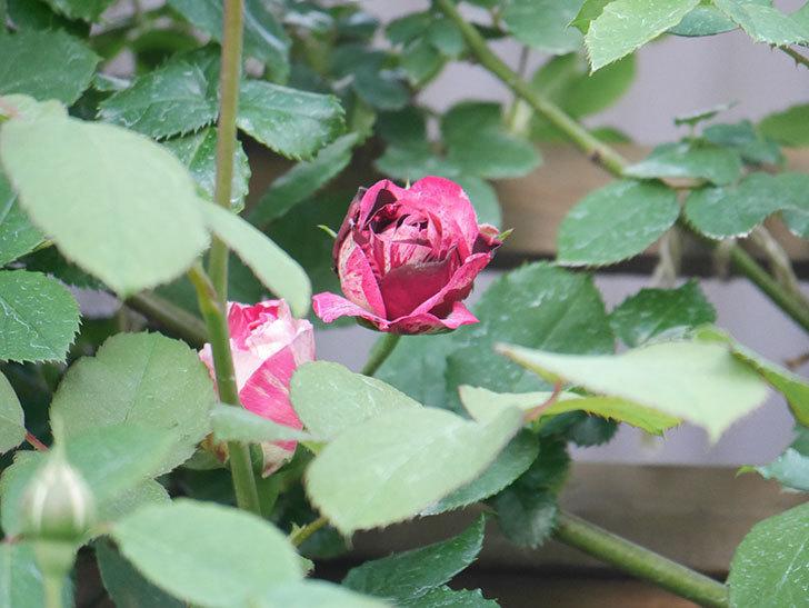 ニュー・イマジン(New Imagine)の花が次々に咲きだした。半ツルバラ。2021年-001.jpg