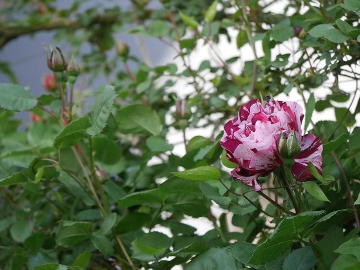 ニュー・イマジン(New Imagine)の花が次々に咲きだした。半ツルバラ。2021年-004.jpg