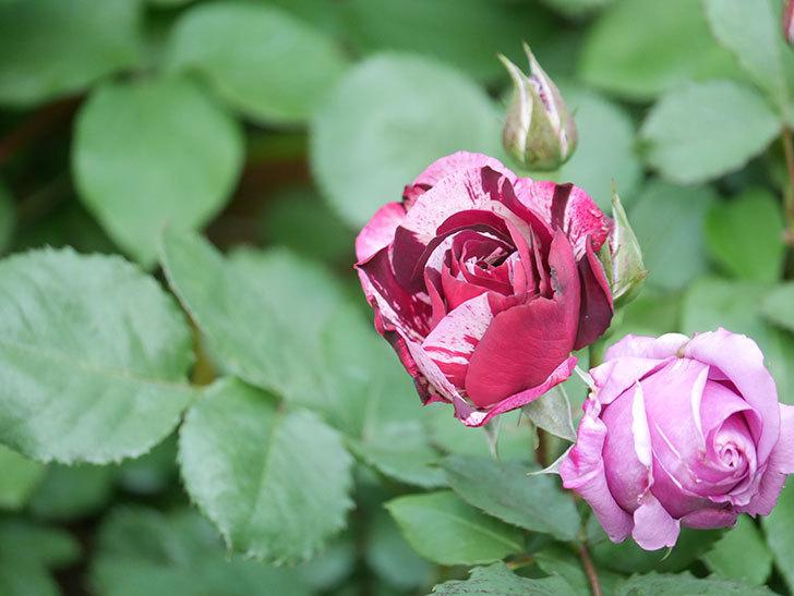 ニュー・イマジン(New Imagine)の花が次々に咲きだした。半ツルバラ。2021年-009.jpg