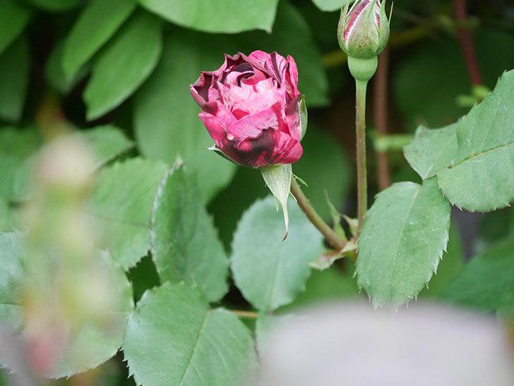 ニュー・イマジン(New Imagine)の花が次々に咲きだした。半ツルバラ。2021年-012.jpg