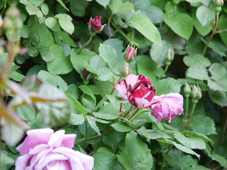 ニュー・イマジン(New Imagine)の花が次々に咲きだした。半ツルバラ。2021年-018.jpg