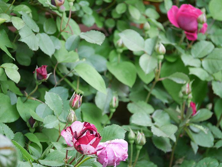 ニュー・イマジン(New Imagine)の花が次々に咲きだした。半ツルバラ。2021年-019.jpg