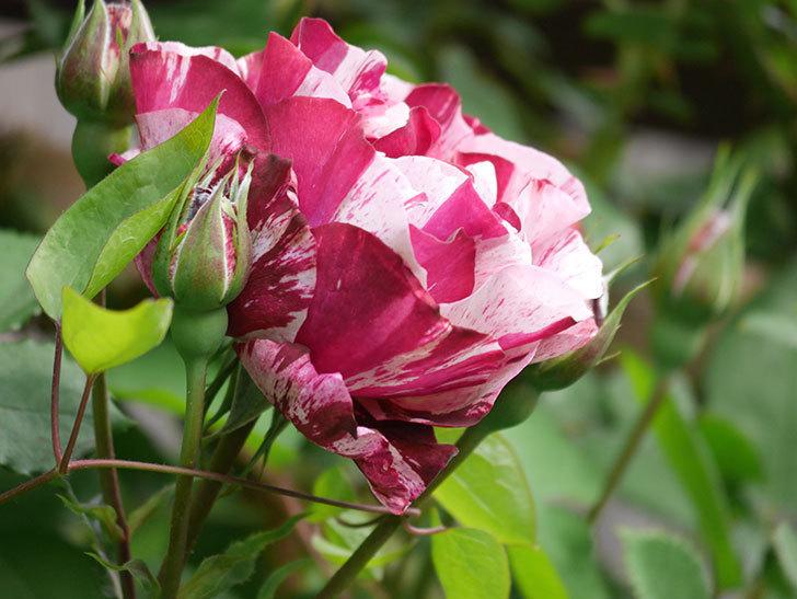 ニュー・イマジン(New Imagine)の花が次々に咲きだした。半ツルバラ。2021年-020.jpg