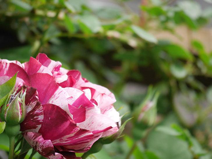 ニュー・イマジン(New Imagine)の花が次々に咲きだした。半ツルバラ。2021年-021.jpg