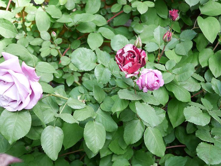 ニュー・イマジン(New Imagine)の花が次々に咲きだした。半ツルバラ。2021年-025.jpg