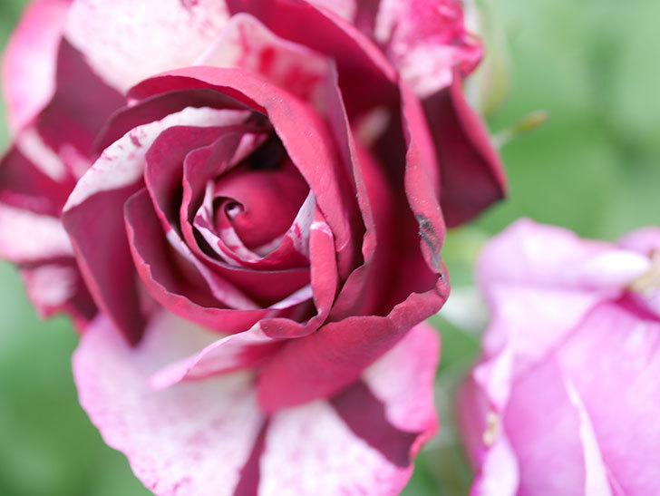 ニュー・イマジン(New Imagine)の花が次々に咲きだした。半ツルバラ。2021年-027.jpg