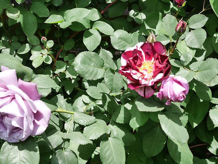 ニュー・イマジン(New Imagine)の花が次々に咲きだした。半ツルバラ。2021年-029.jpg