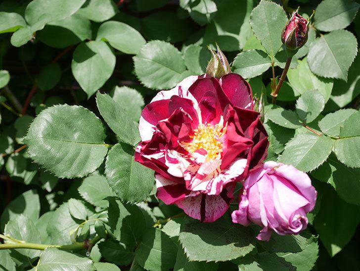 ニュー・イマジン(New Imagine)の花が次々に咲きだした。半ツルバラ。2021年-030.jpg
