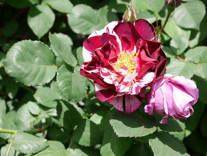 ニュー・イマジン(New Imagine)の花が次々に咲きだした。半ツルバラ。2021年-032.jpg