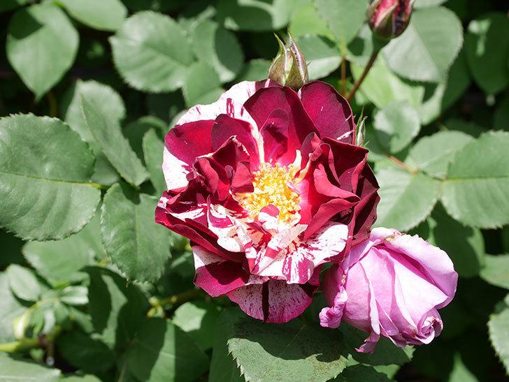ニュー・イマジン(New Imagine)の花が次々に咲きだした。半ツルバラ。2021年-033.jpg