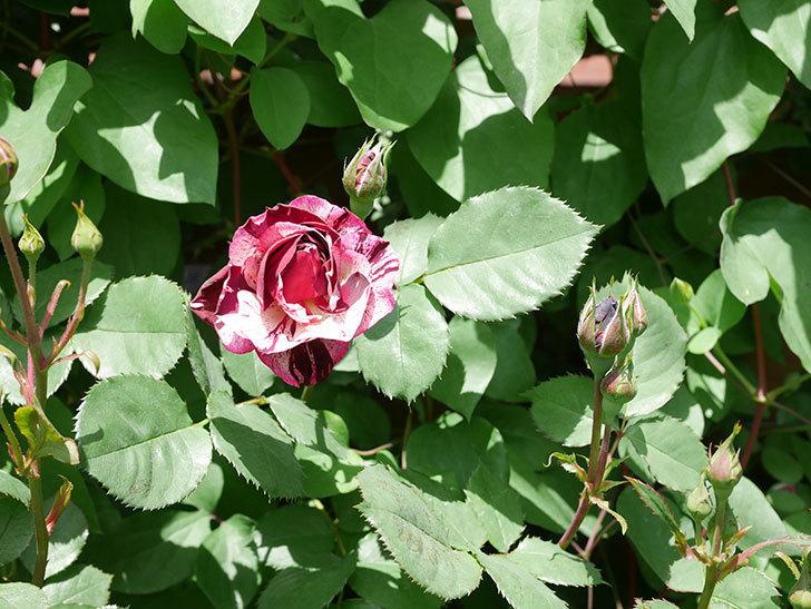 ニュー・イマジン(New Imagine)の花が次々に咲きだした。半ツルバラ。2021年-034.jpg