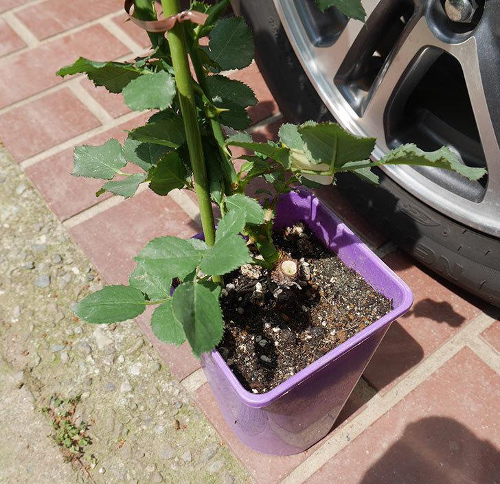 ニュー・イマジン(ツルバラ)の新苗を6号ロングスリット鉢に植え替えた。2019年-2.jpg
