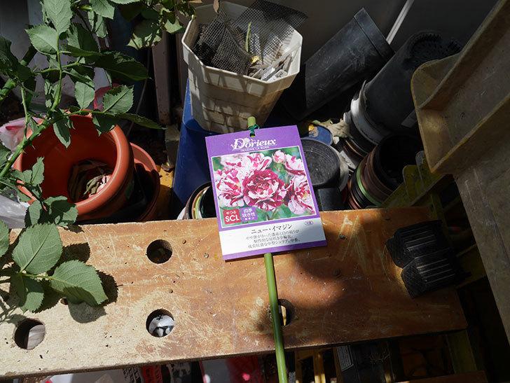 ニュー・イマジン(ツルバラ)の新苗を6号ロングスリット鉢に植え替えた。2019年-3.jpg