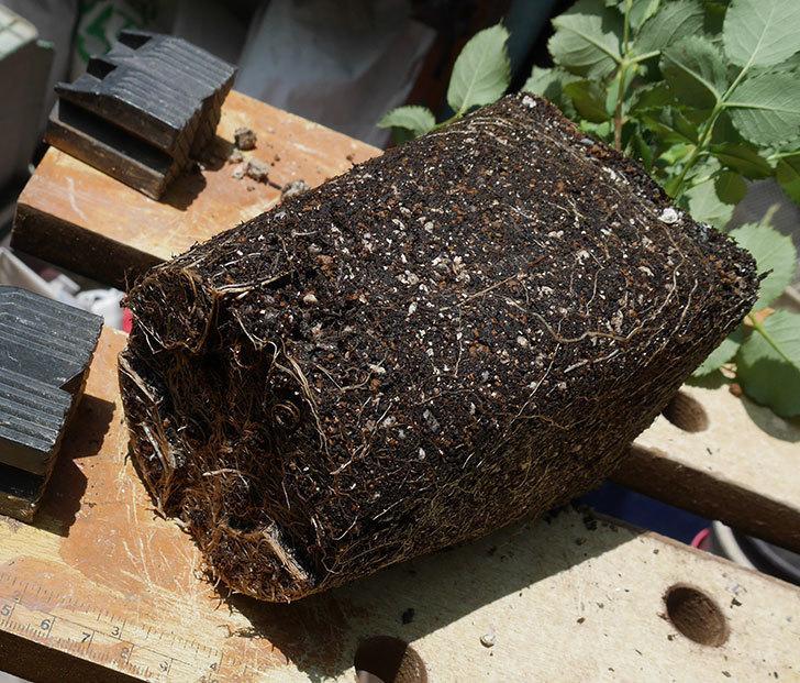ニュー・イマジン(ツルバラ)の新苗を6号ロングスリット鉢に植え替えた。2019年-4.jpg