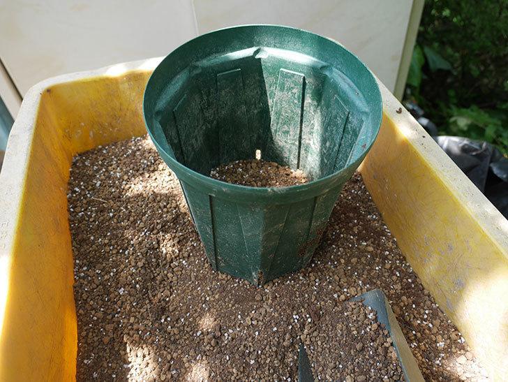 ニュー・イマジン(ツルバラ)の新苗を6号ロングスリット鉢に植え替えた。2019年-5.jpg