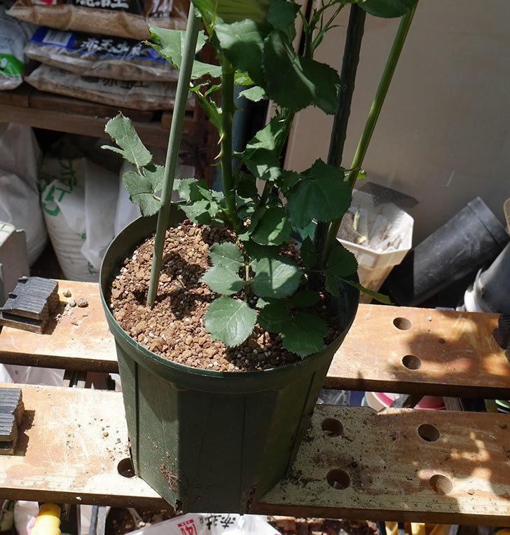 ニュー・イマジン(ツルバラ)の新苗を6号ロングスリット鉢に植え替えた。2019年-7.jpg