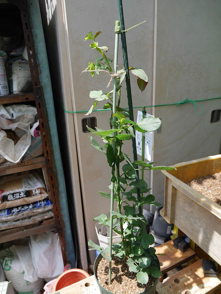 ニュー・イマジン(ツルバラ)の新苗を6号ロングスリット鉢に植え替えた。2019年-8.jpg
