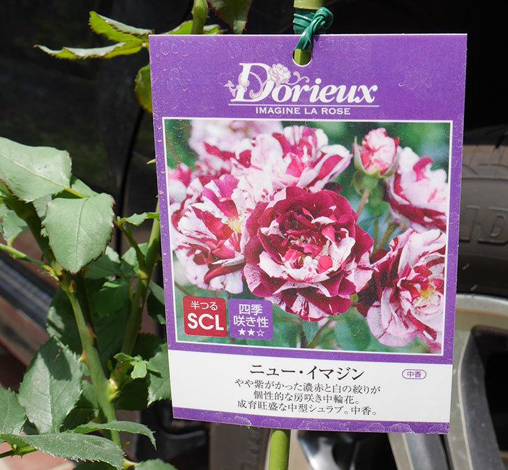 ニュー・イマジン(ツルバラ)の新苗を楽天のバラの家で買った。2019年-3.jpg