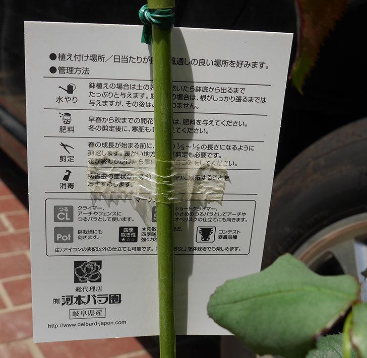 ニュー・イマジン(ツルバラ)の新苗を楽天のバラの家で買った。2019年-4.jpg