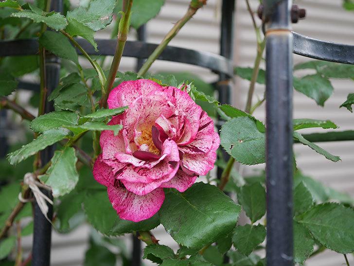 ニュー・イマジン(半ツルバラ)の花が咲いた。2020年-2.jpg