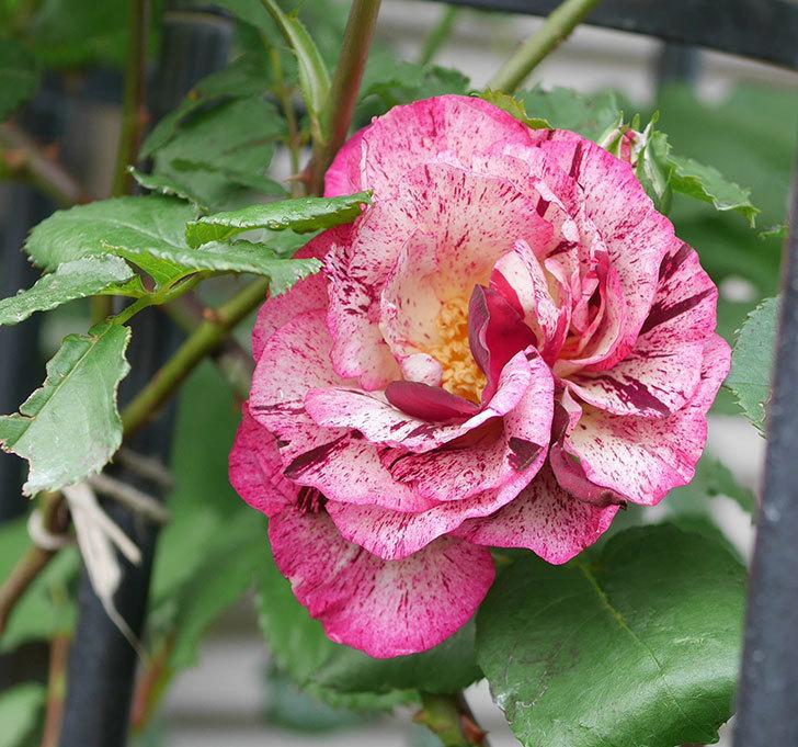 ニュー・イマジン(半ツルバラ)の花が咲いた。2020年-6.jpg