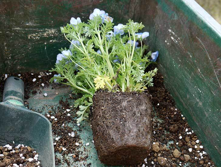 ネモフィラを鉢に植えた2.jpg