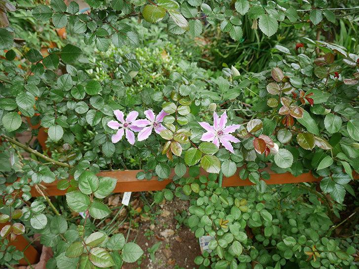 ネリモーザ(パテンス系 旧枝咲き)の3個目の花が咲いた。2018年-4.jpg