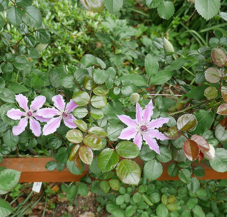 ネリモーザ(パテンス系 旧枝咲き)の3個目の花が咲いた。2018年-5.jpg