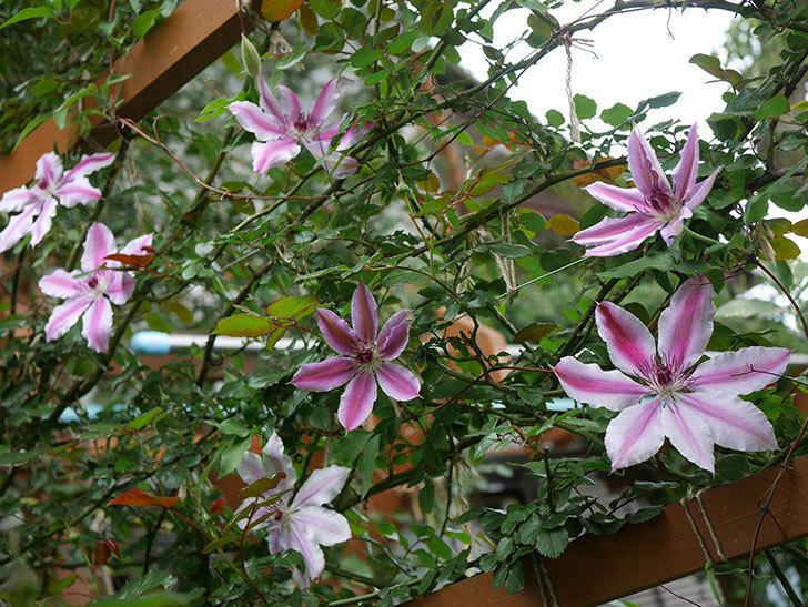 ネリモーザ(パテンス系 旧枝咲き)の花がたくさん咲いた。2020年-1.jpg