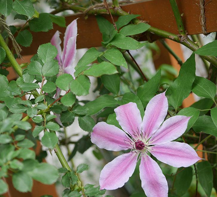 ネリモーザ(パテンス系 旧枝咲き)の花がたくさん咲いた。2020年-10.jpg