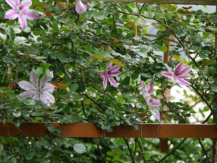 ネリモーザ(パテンス系 旧枝咲き)の花がたくさん咲いた。2020年-13.jpg