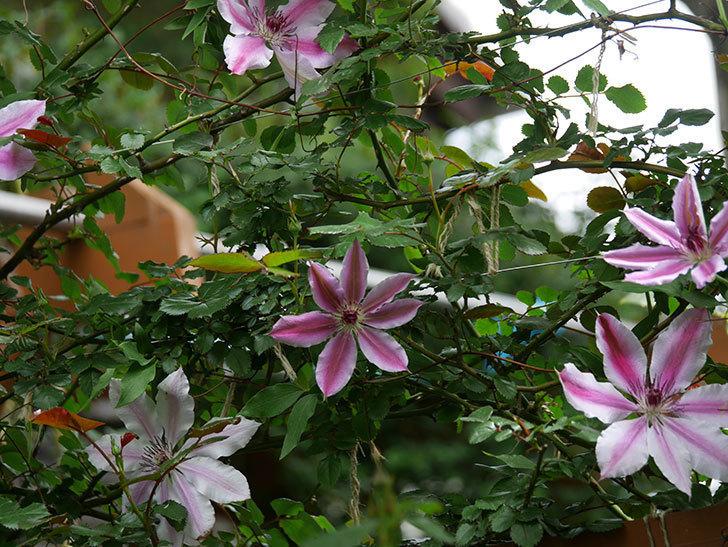 ネリモーザ(パテンス系 旧枝咲き)の花がたくさん咲いた。2020年-18.jpg