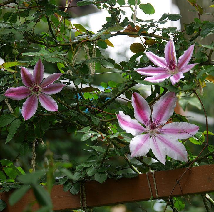 ネリモーザ(パテンス系 旧枝咲き)の花がたくさん咲いた。2020年-19.jpg