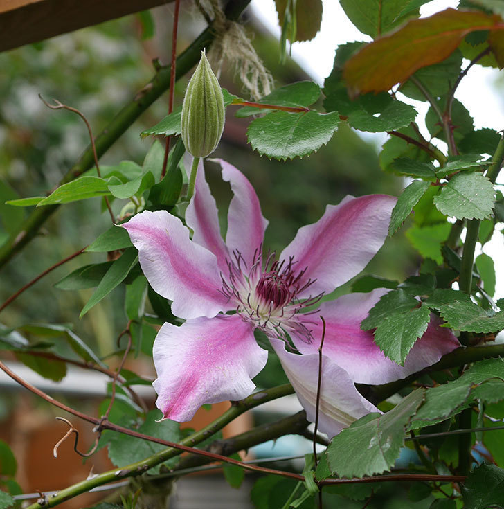 ネリモーザ(パテンス系 旧枝咲き)の花がたくさん咲いた。2020年-7.jpg