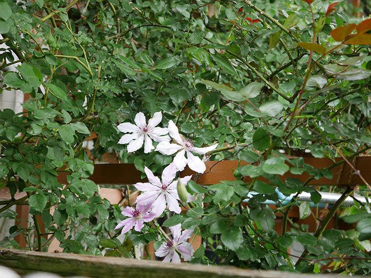 ネリモーザ(パテンス系 旧枝咲き)の花がたくさん咲いた。2021年-001.jpg