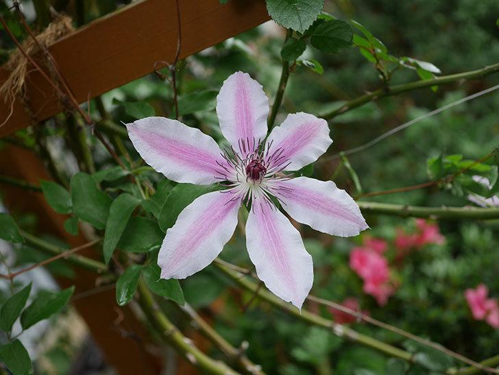 ネリモーザ(パテンス系 旧枝咲き)の花がたくさん咲いた。2021年-002.jpg