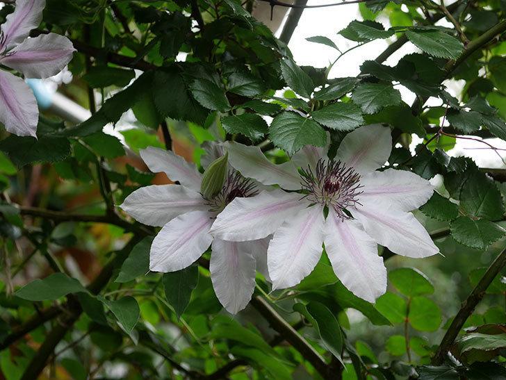 ネリモーザ(パテンス系 旧枝咲き)の花がたくさん咲いた。2021年-003.jpg