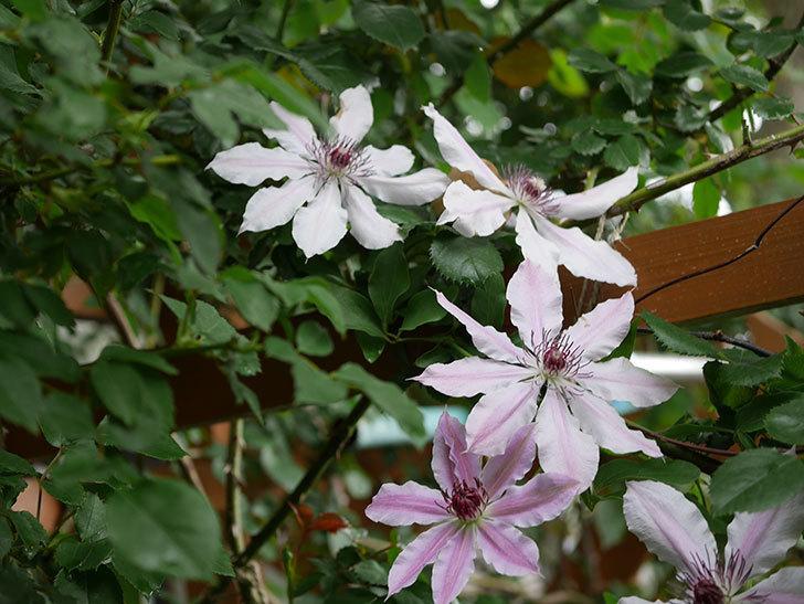 ネリモーザ(パテンス系 旧枝咲き)の花がたくさん咲いた。2021年-004.jpg