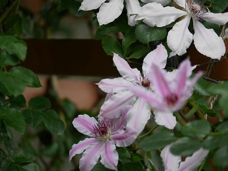 ネリモーザ(パテンス系 旧枝咲き)の花がたくさん咲いた。2021年-011.jpg