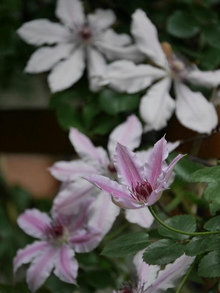 ネリモーザ(パテンス系 旧枝咲き)の花がたくさん咲いた。2021年-013.jpg