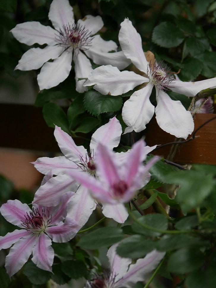 ネリモーザ(パテンス系 旧枝咲き)の花がたくさん咲いた。2021年-015.jpg
