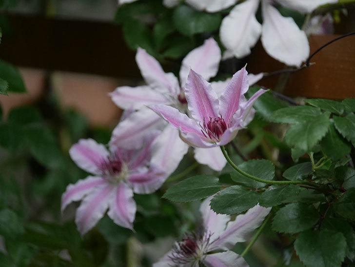 ネリモーザ(パテンス系 旧枝咲き)の花がたくさん咲いた。2021年-016.jpg