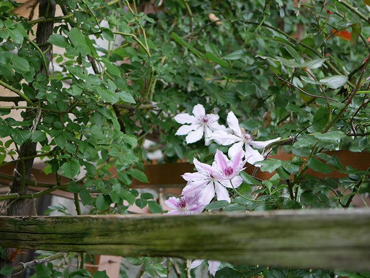 ネリモーザ(パテンス系 旧枝咲き)の花がたくさん咲いた。2021年-020.jpg