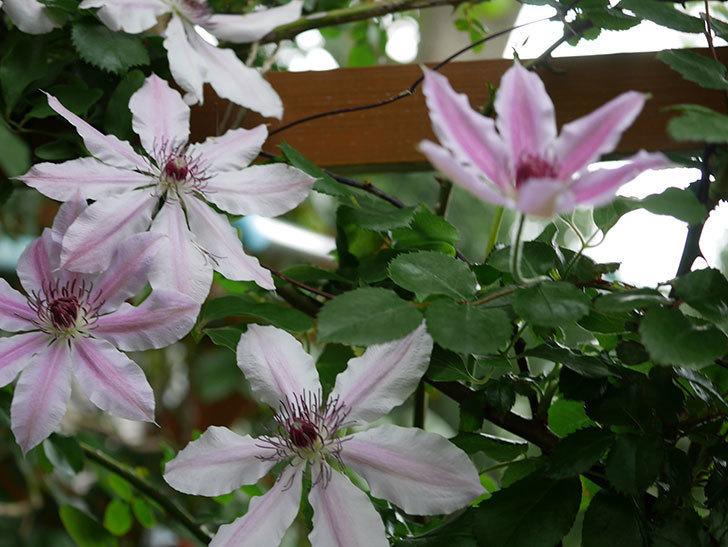 ネリモーザ(パテンス系 旧枝咲き)の花がたくさん咲いた。2021年-024.jpg