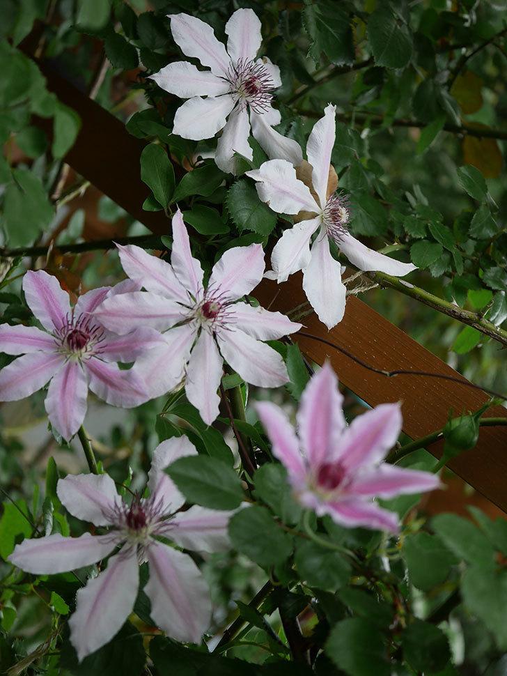 ネリモーザ(パテンス系 旧枝咲き)の花がたくさん咲いた。2021年-026.jpg