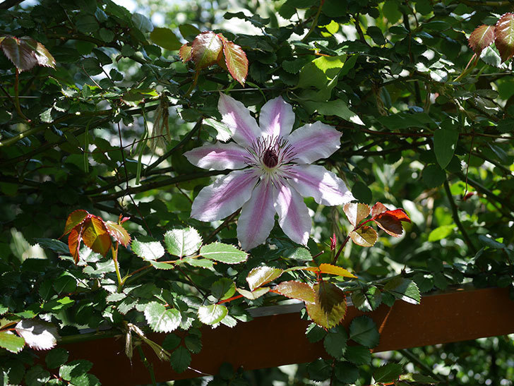 ネリモーザ(パテンス系 旧枝咲き)の花がまた咲いた。2020年-5.jpg