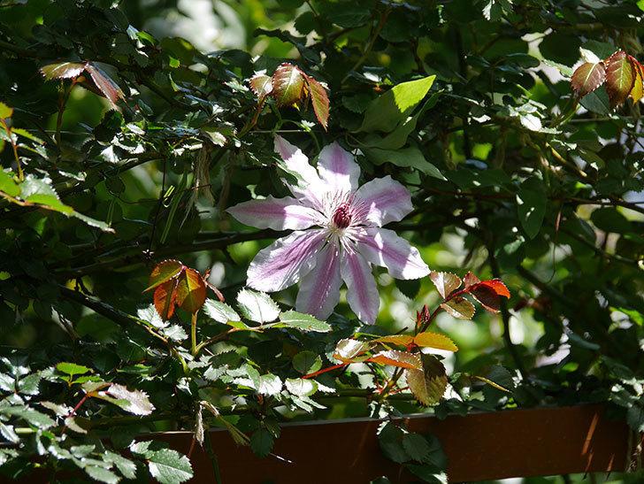 ネリモーザ(パテンス系 旧枝咲き)の花がまた咲いた。2020年-9.jpg
